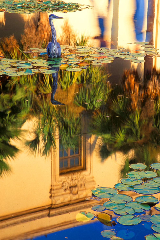 Blue Heron in reflecting pool, Balboa Park, San Diego, California