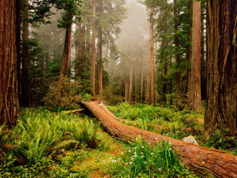 Nurse log among Coast Redwood trees, Redwood National Park, California
