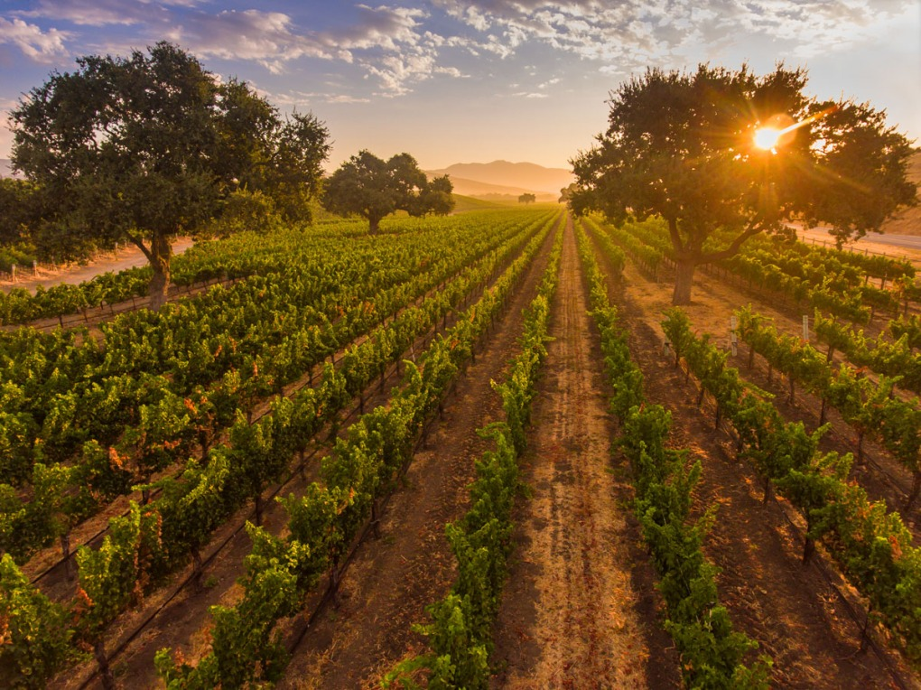 aerial view of vineyard at sunrise, Santa Ynez Valley, California