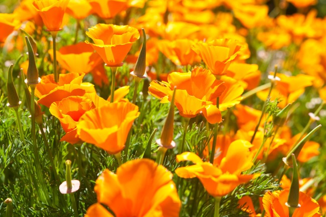 Backlit California poppies in bloom