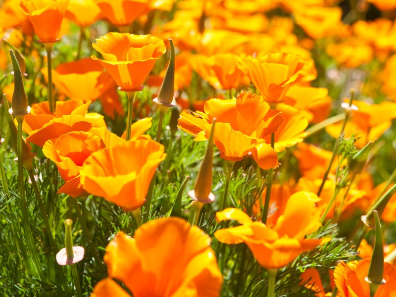 Backlit California poppies in bloom