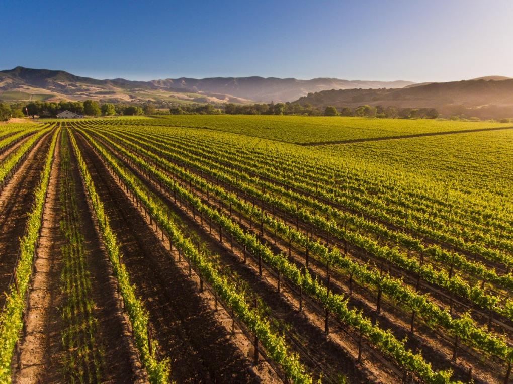 Rows of vines in a vineyard