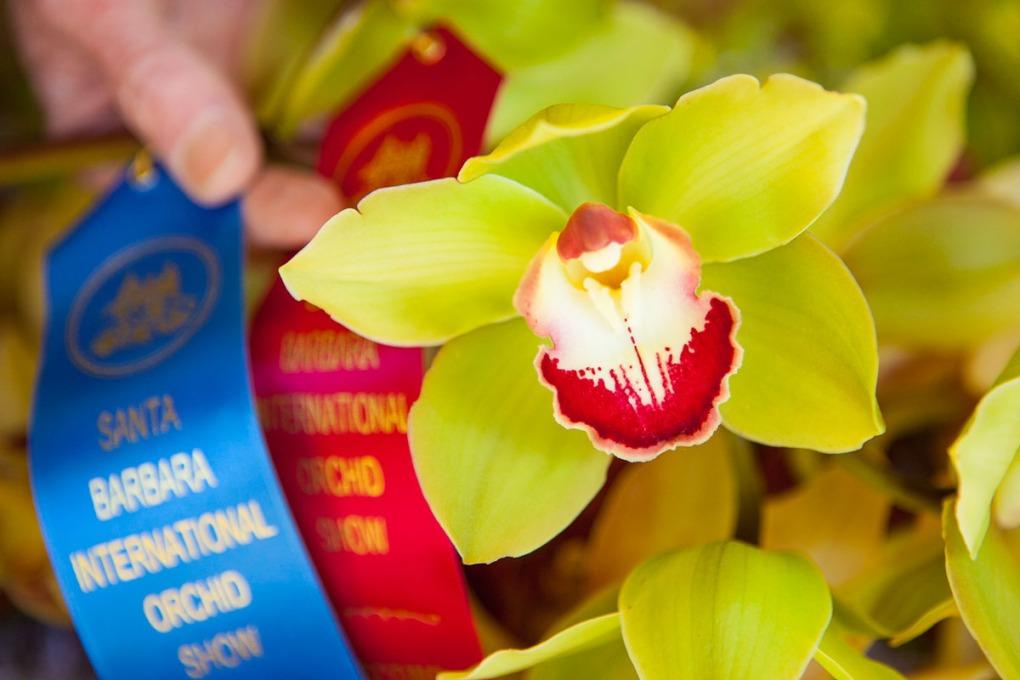 prize winning cymbidium orchid