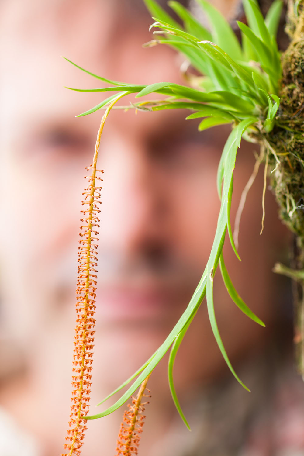 collector looking at a flower spike of micro orchids