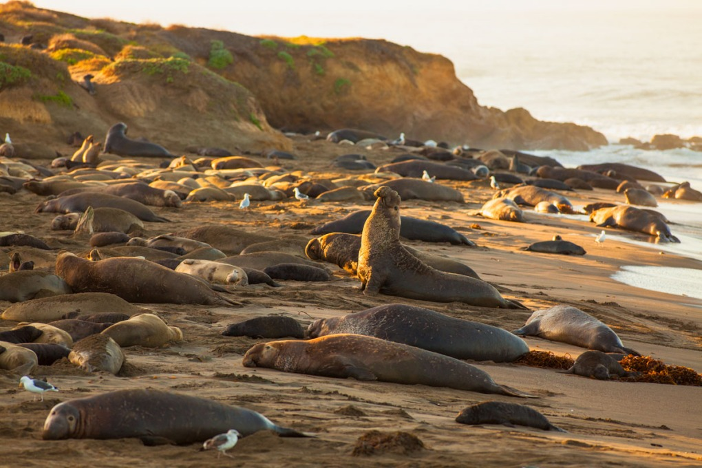 Beachmaster elephant seal