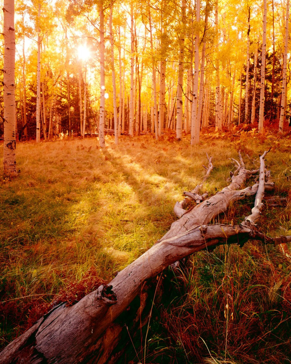 Forced perspective photograph of fall aspen grove