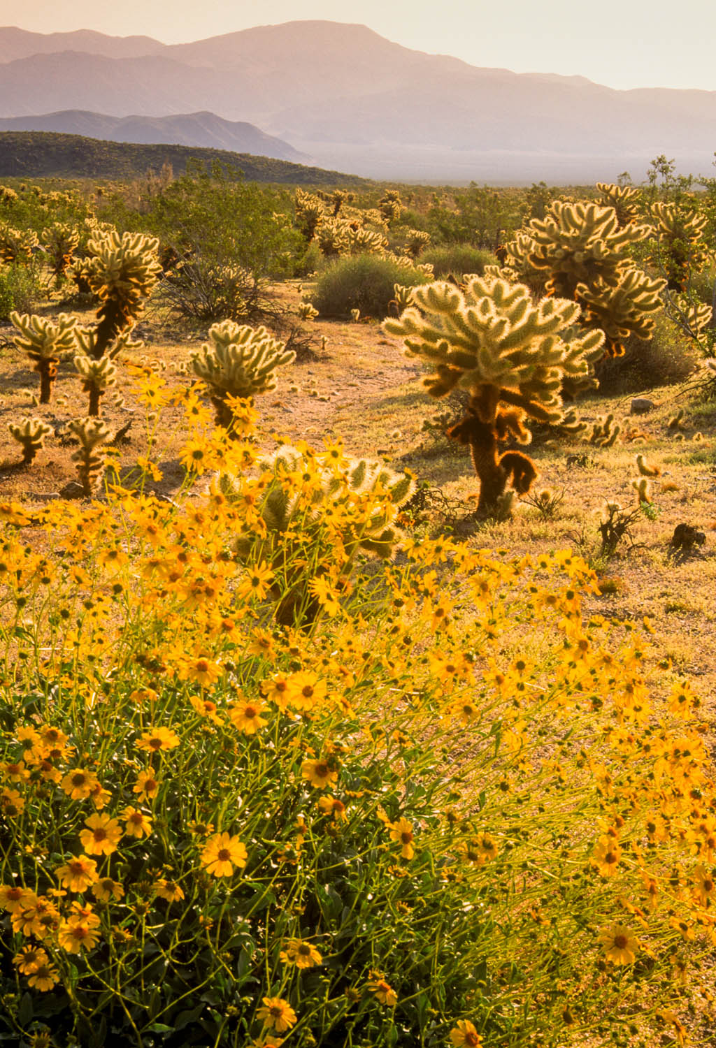 Forced perspective photograph of brittlebush flowers
