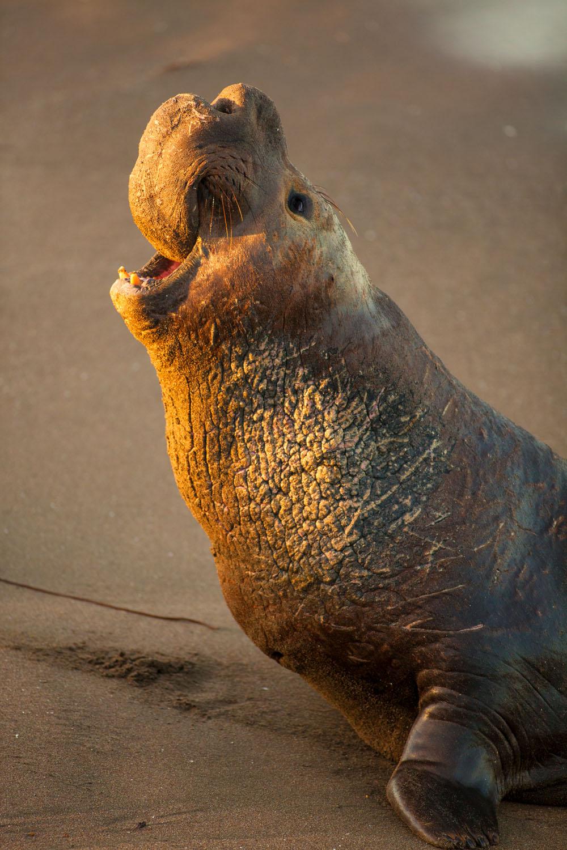 Male elephant seal portrait