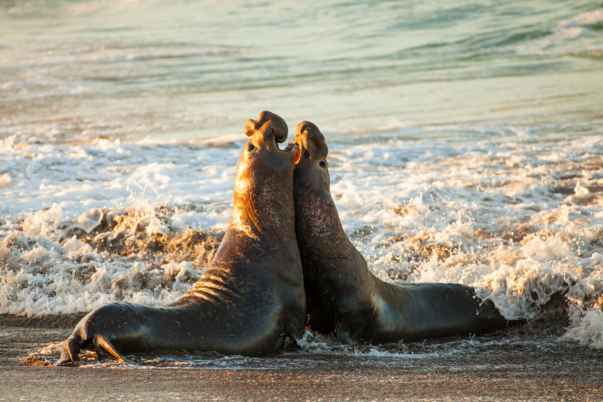 Male elephant seals fight for dominance