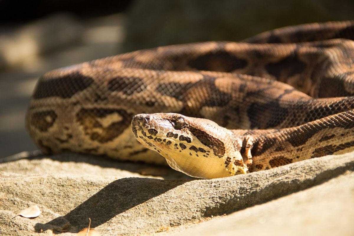 photograph of boa constrictor