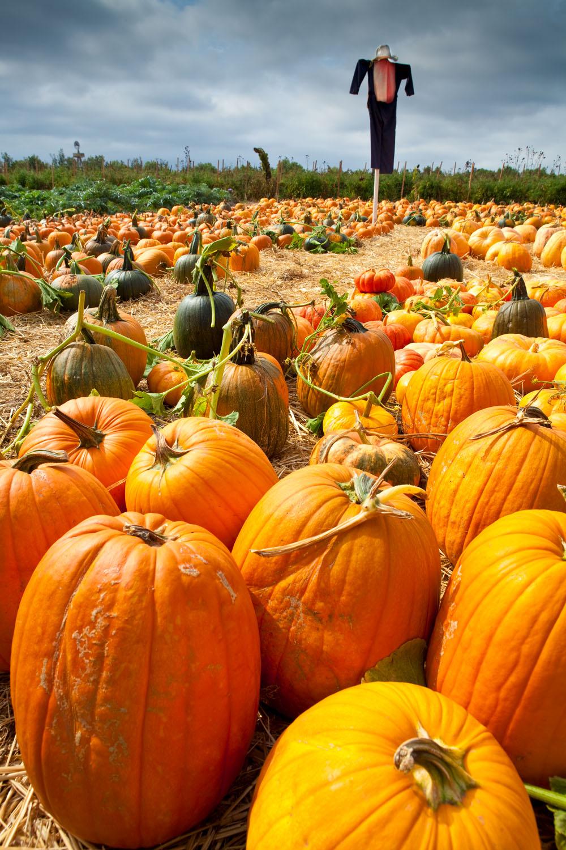 Halloween scarecrow in pumpkin patch