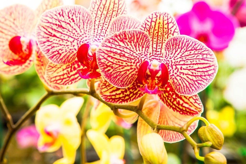 phalaenopsis, or moth orchids in a greenhouse