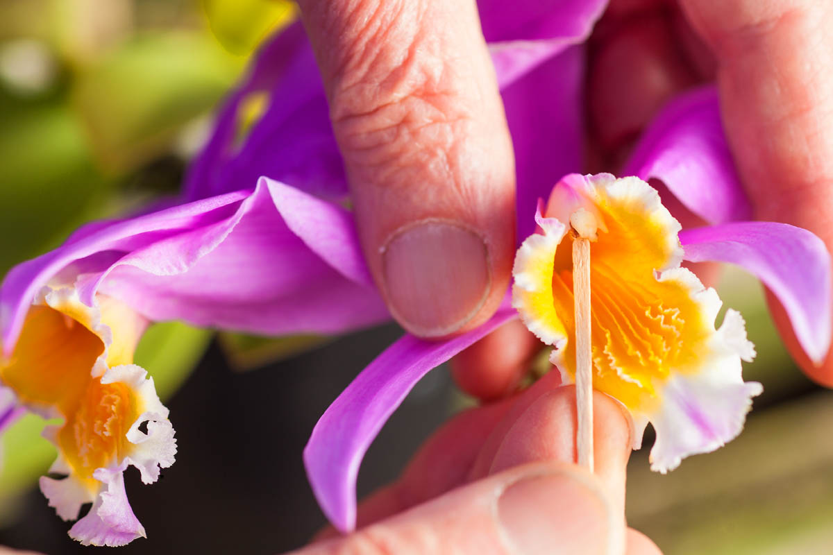 laelia orchid is pollinated by hand