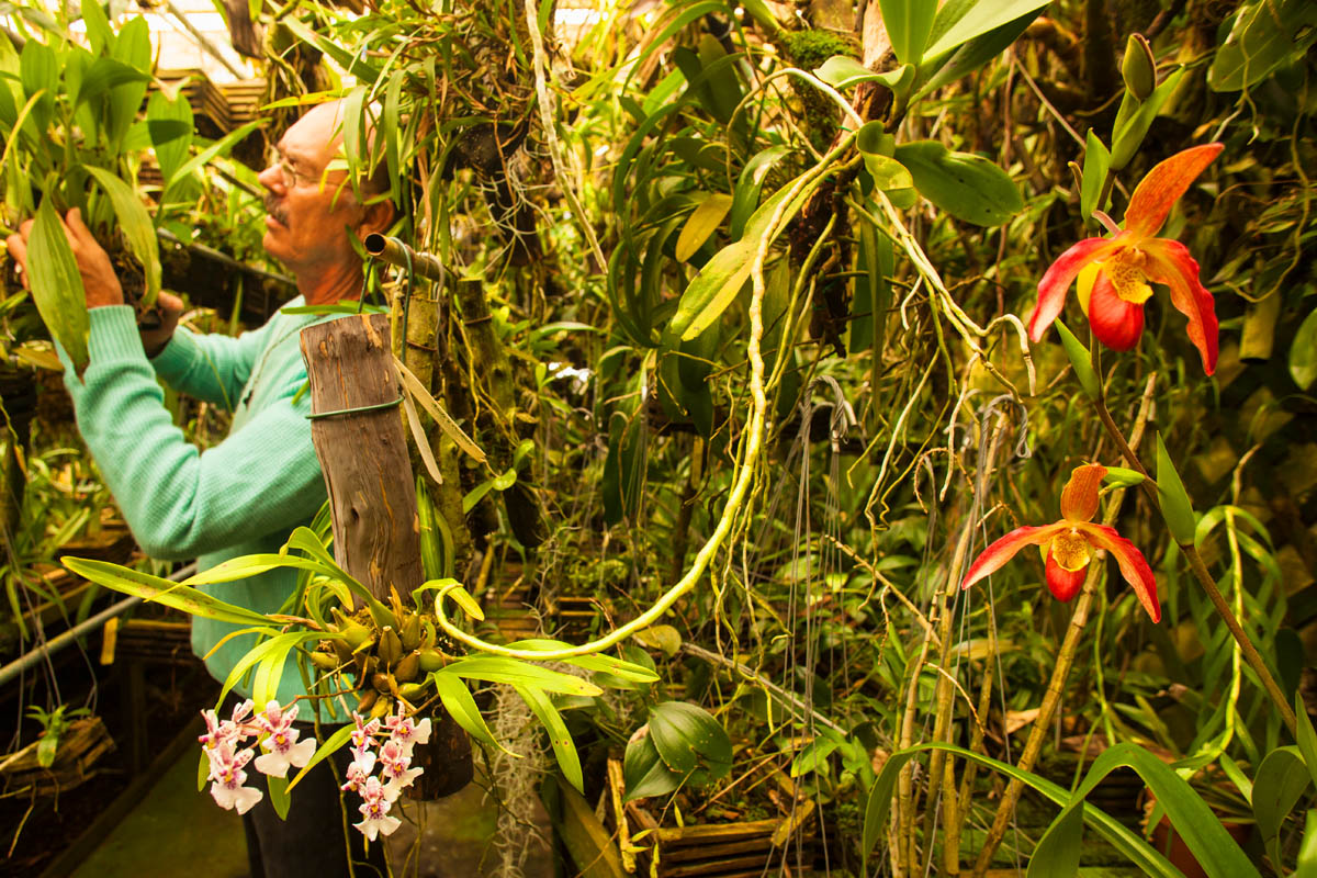 Orchid collector in the jungle of his lath house