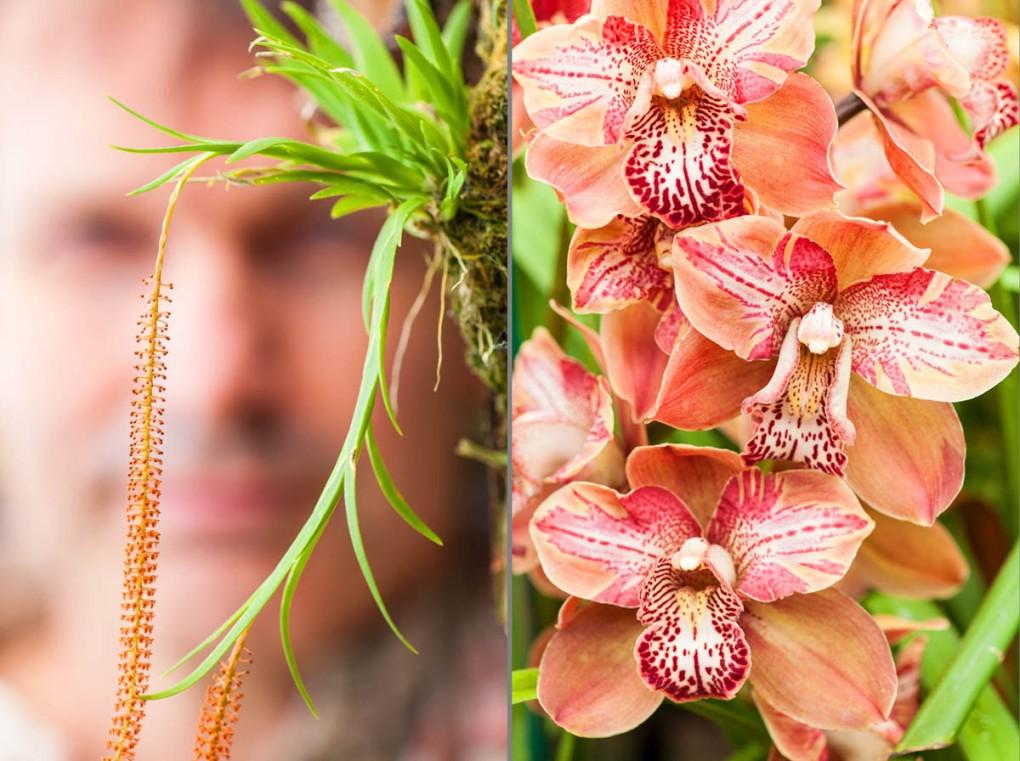 Comparison of micro orchids and lemon-sized cymbidium orchids