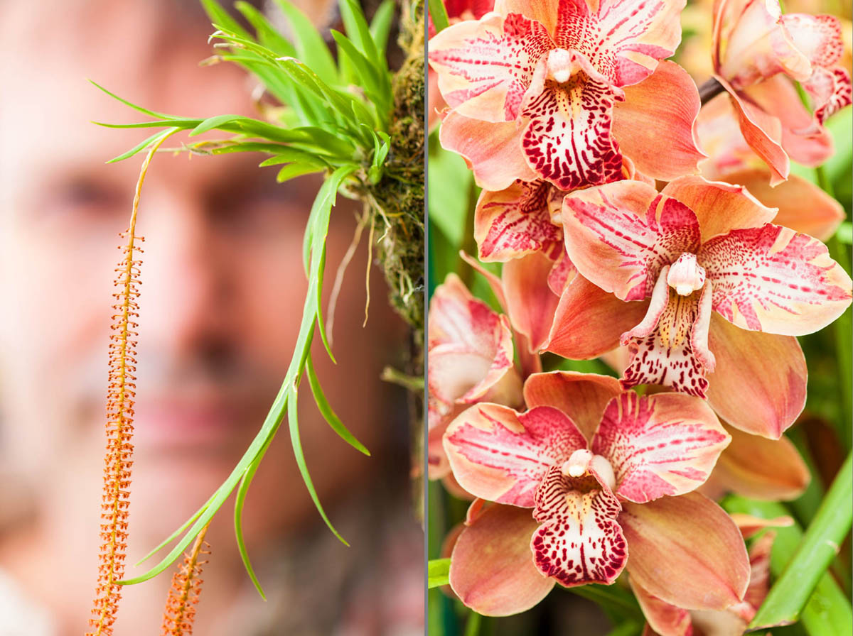 Comparison of micro orchids and lemon-sized cymbidium orchids