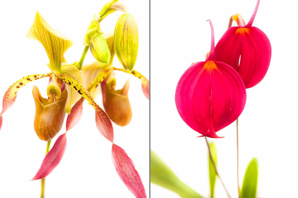 Studio portraits of orchids in a lath house