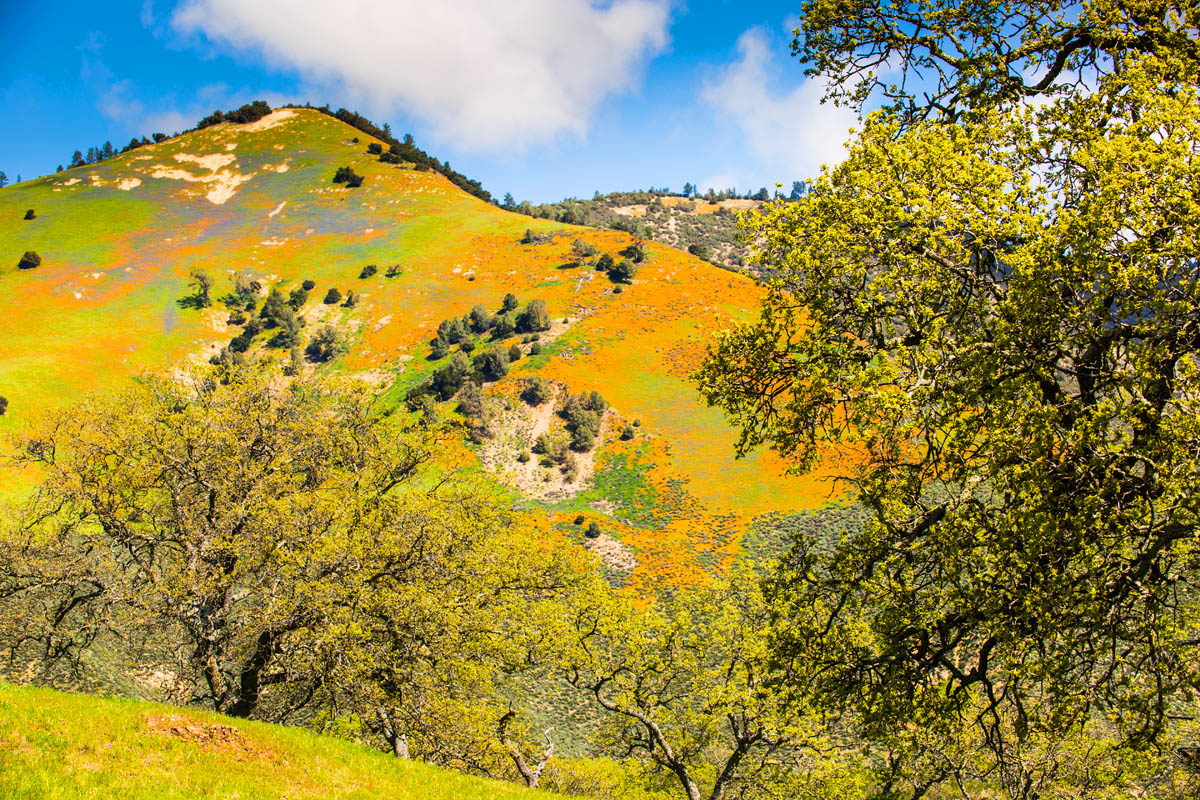 California poppies and lupine paint a hillside orange and purple