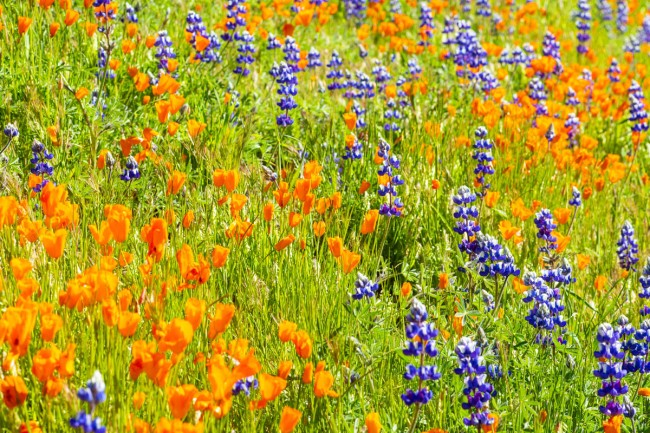 Wildflower bloom on Figueroa Mountain