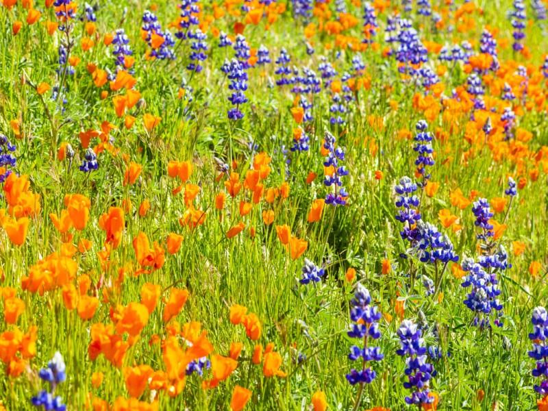 Wildflower bloom on Figueroa Mountain