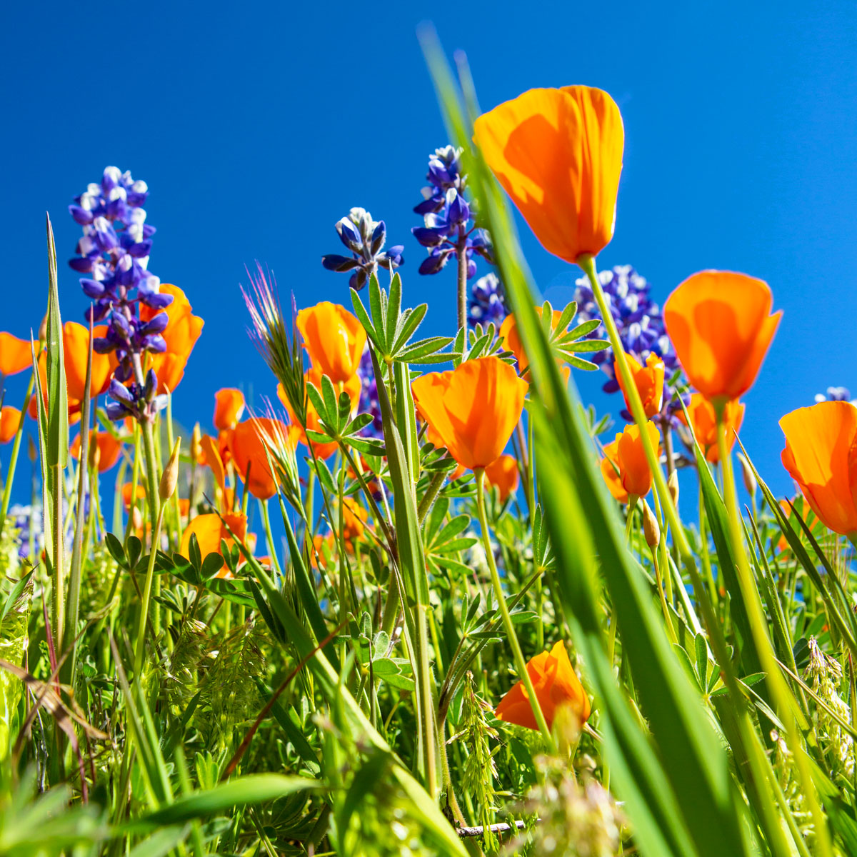 Bugs-eye-view photograph of poppies and lupine