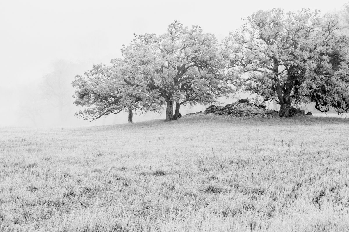 Black and white of oaks in fog