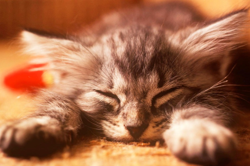 Shallow depth of field portrait of a young kitten sleeping