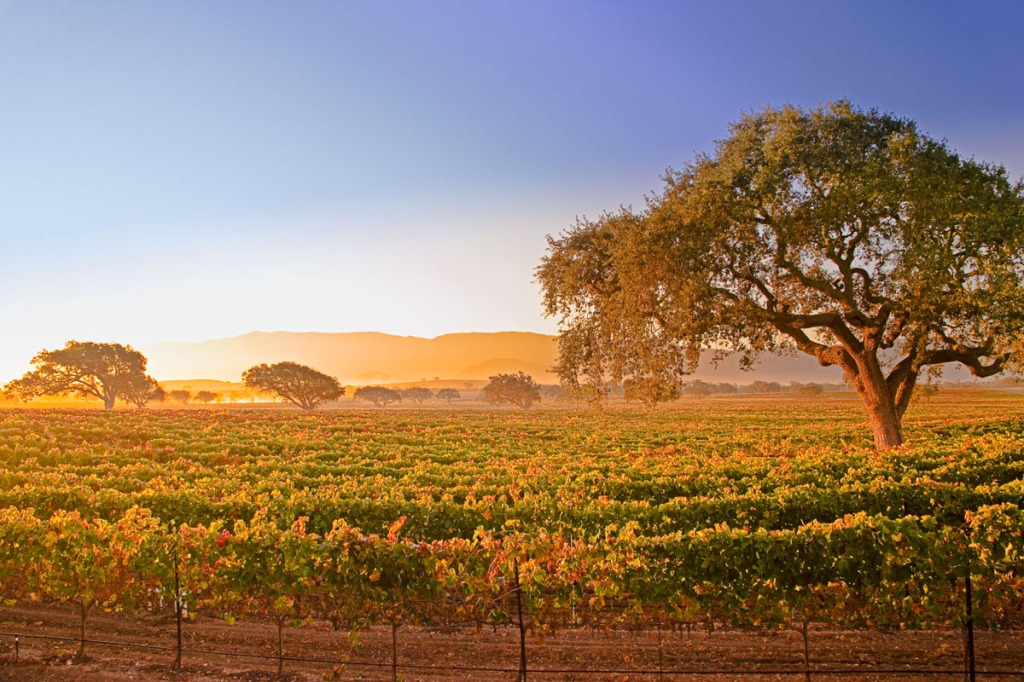 Vineyard photographed with a 24mm wide angle lens at sunrise.