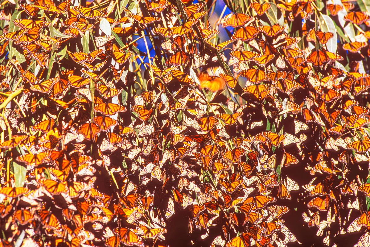 Monarch butterflies photographed with a 300mm telephoto lens