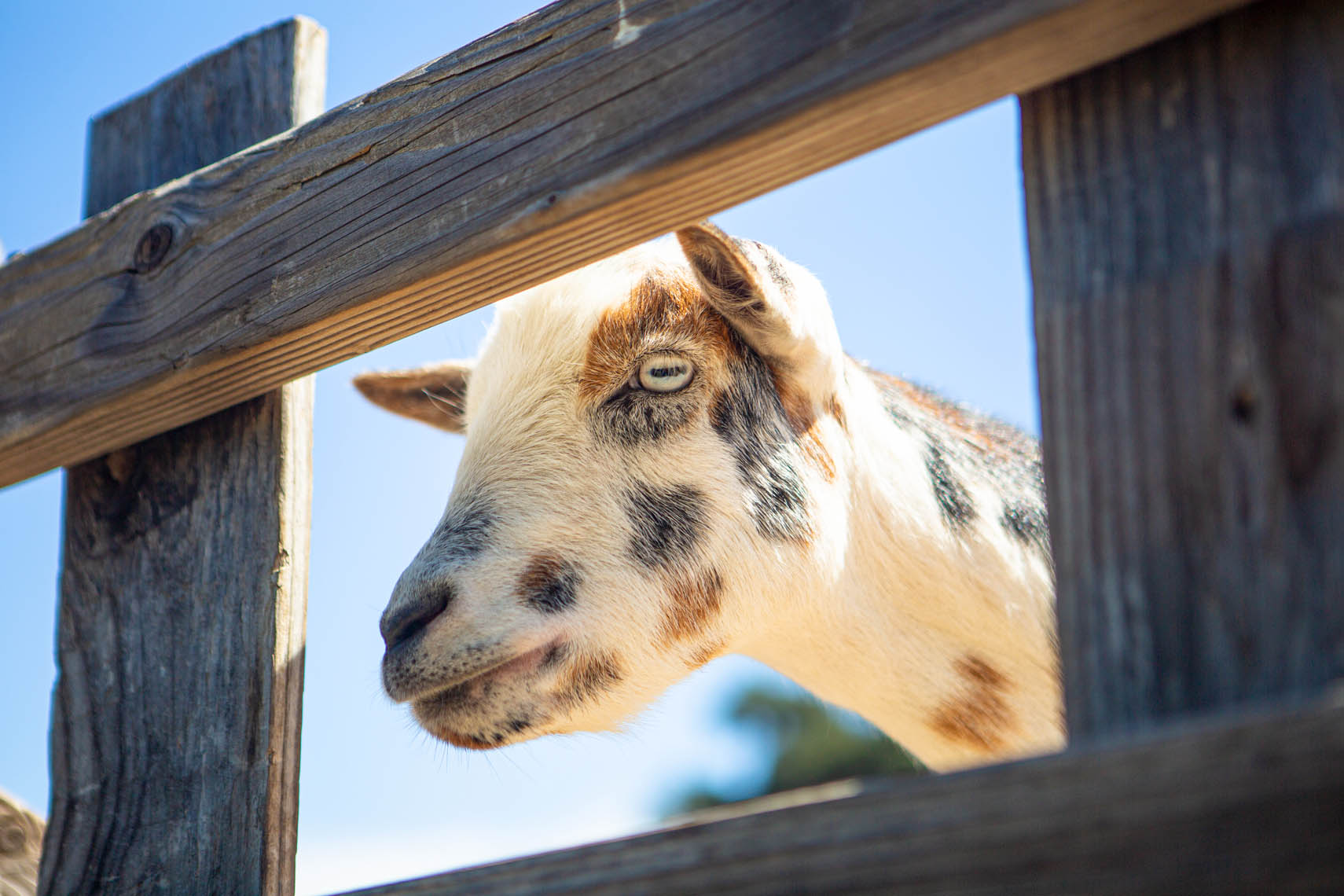 goat ready to be fed, Folded Hills Farmstead, Santa Ynez Valley, California